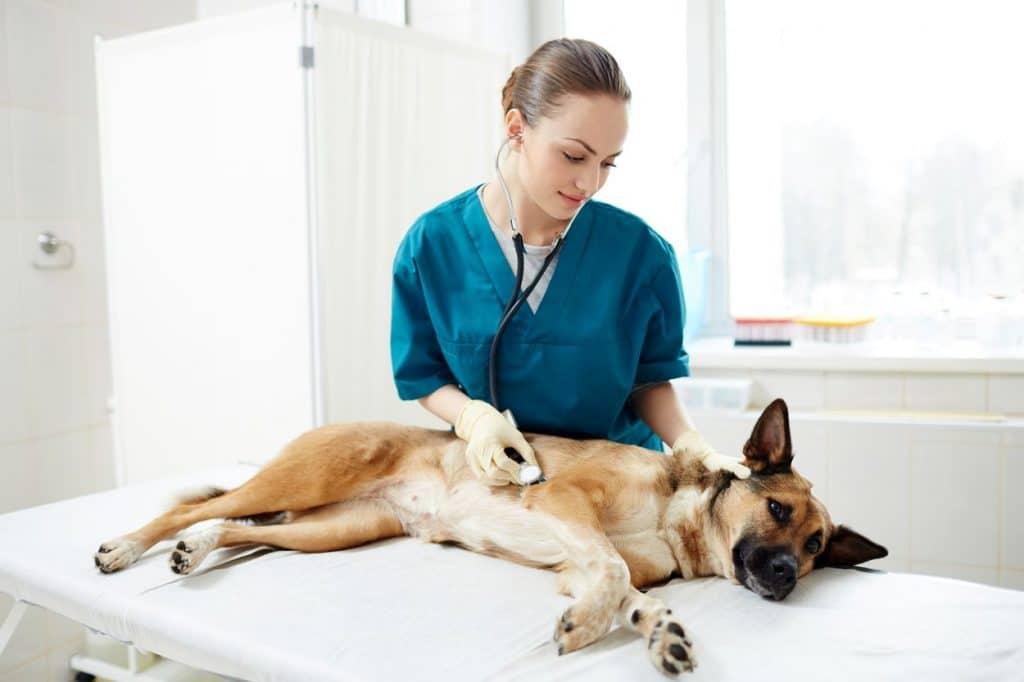 Les chiens sont stérilisés et vaccines à la spa de bordeaux mérignac