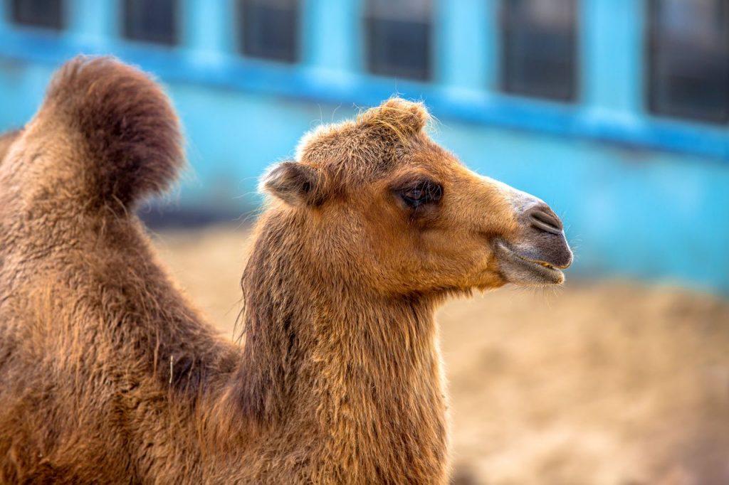 chameau de la ferme exotique