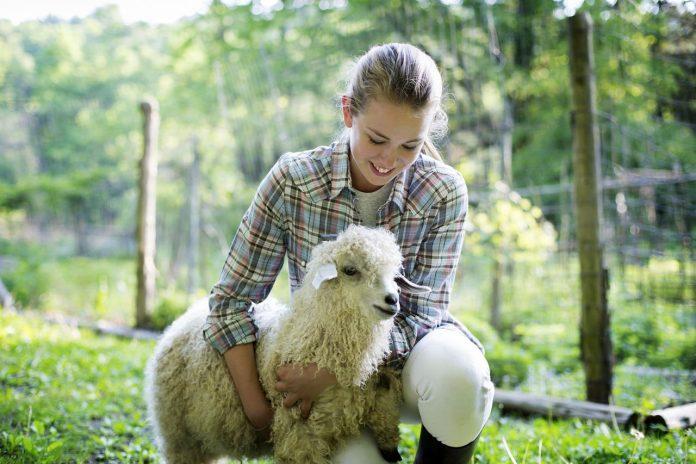 Mouton angora de la ferme exotique de cadaujac